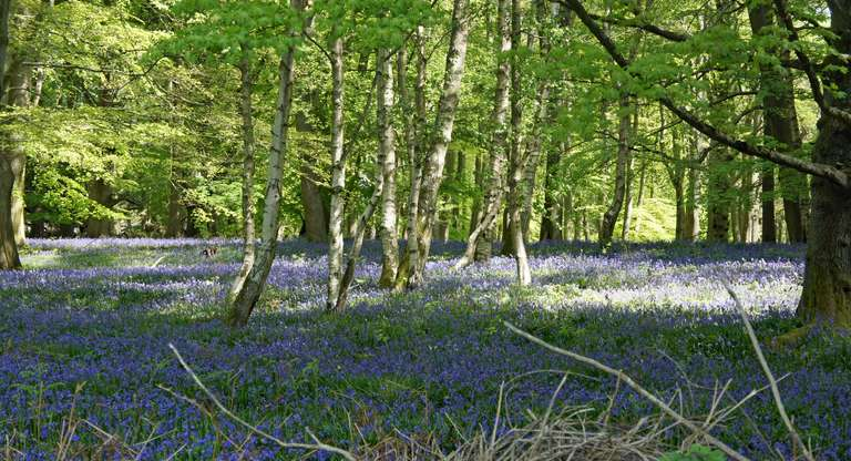 Bluebell woods - in Wychwood Forest