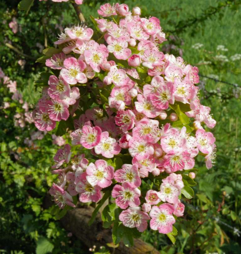 Pink Hawthorn or May