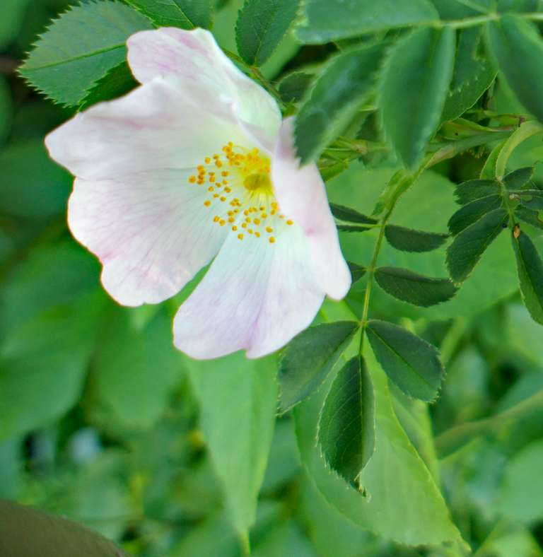 Dog rose in the hedge