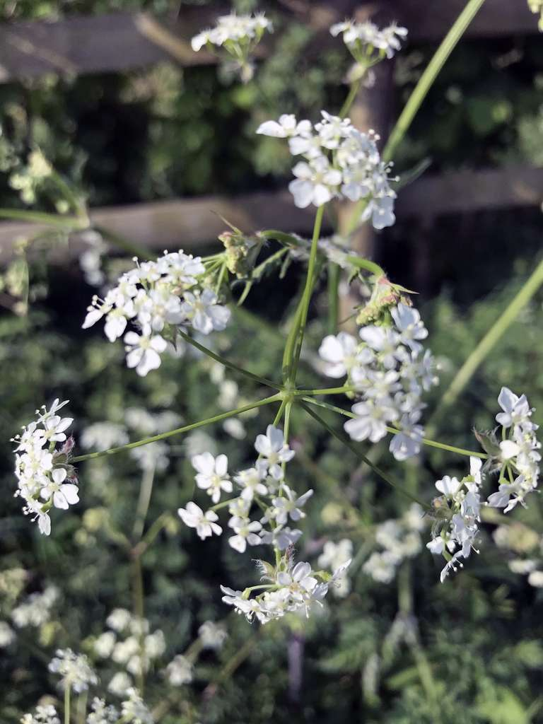 Cow Parsley on the verge
