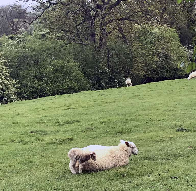 Cold, wet lamb with mother - Pudlicote Farm