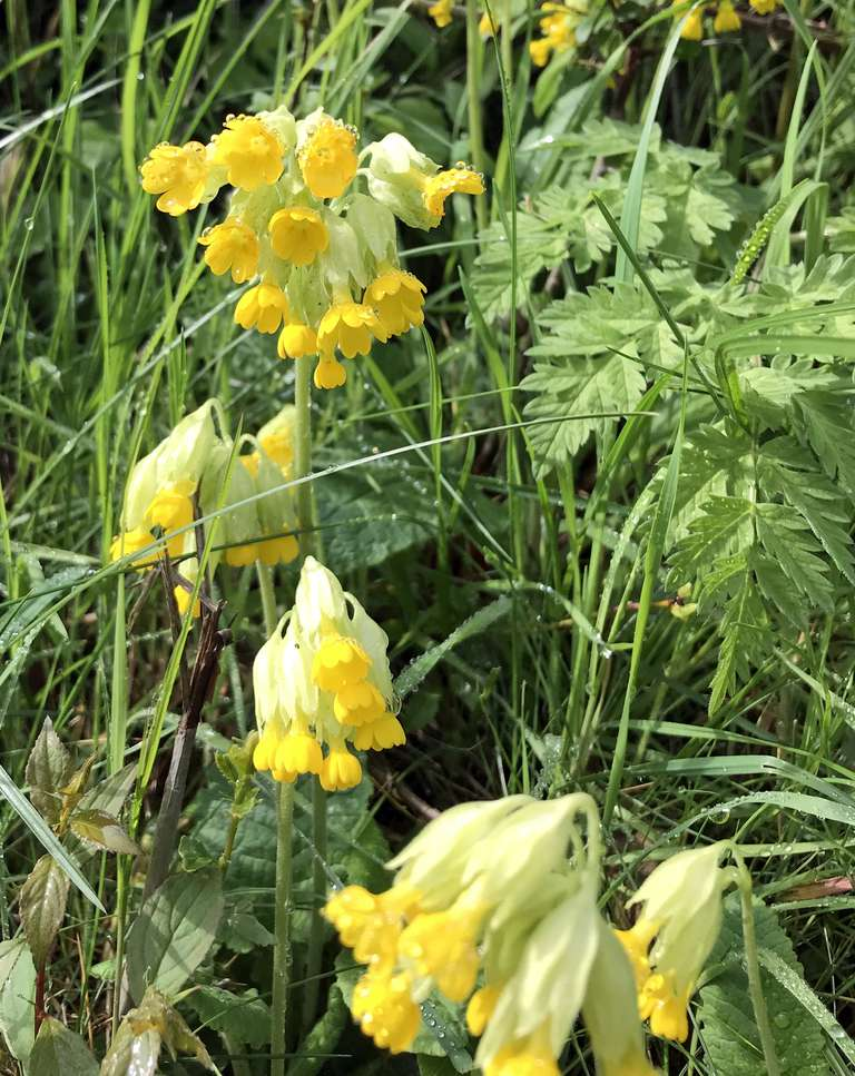 Cowslips on the verge - past their best