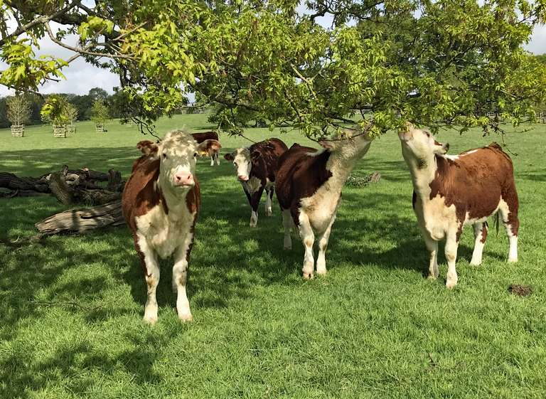 Hereford cattle in the park