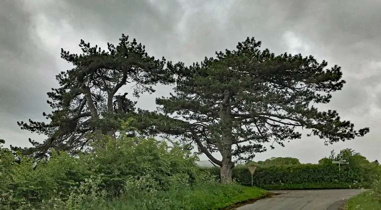 Scots pines at junction of Pudlicote Lane and Barters Hill