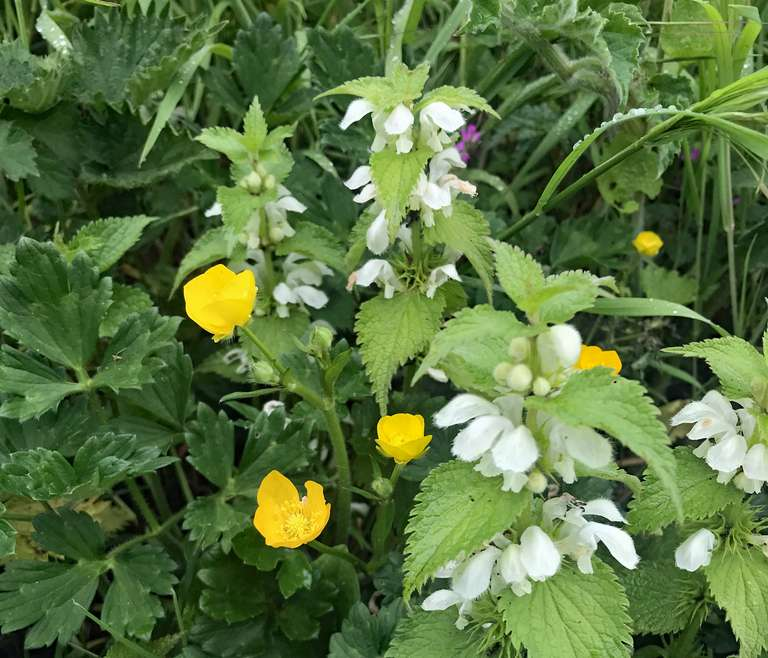 White Dead-Nettle with Creeping Buttercup