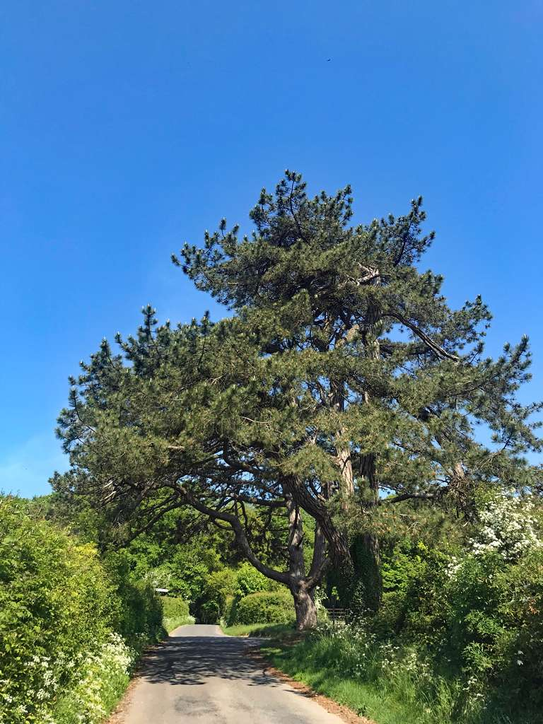 Scots pines - and another blue sky
