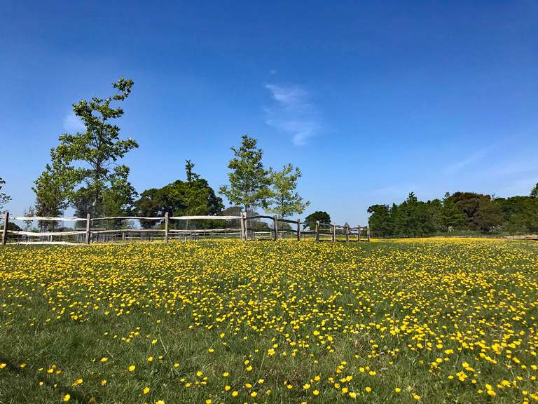 Buttercups in the 'Park' meadow