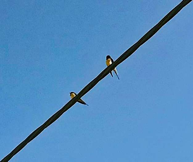 Swallows on overhead wires in Chilson