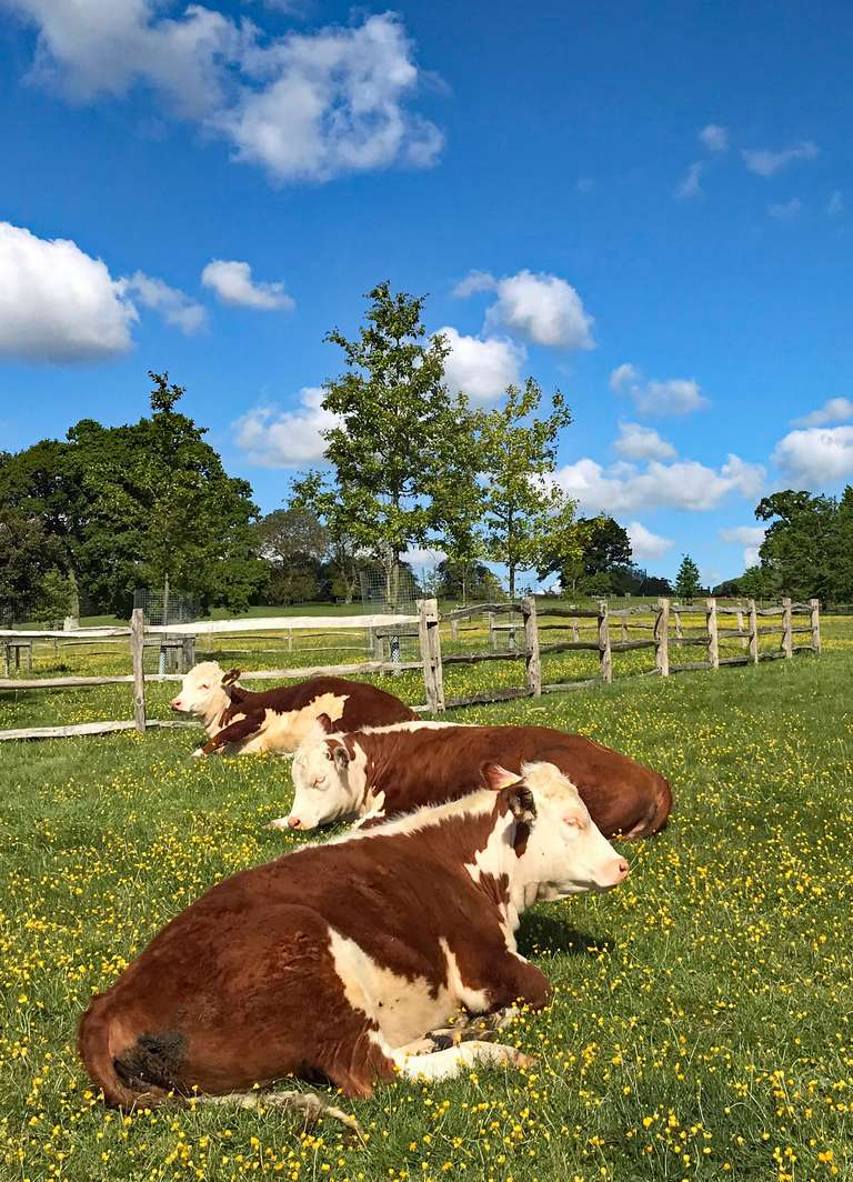 Contented Herefords