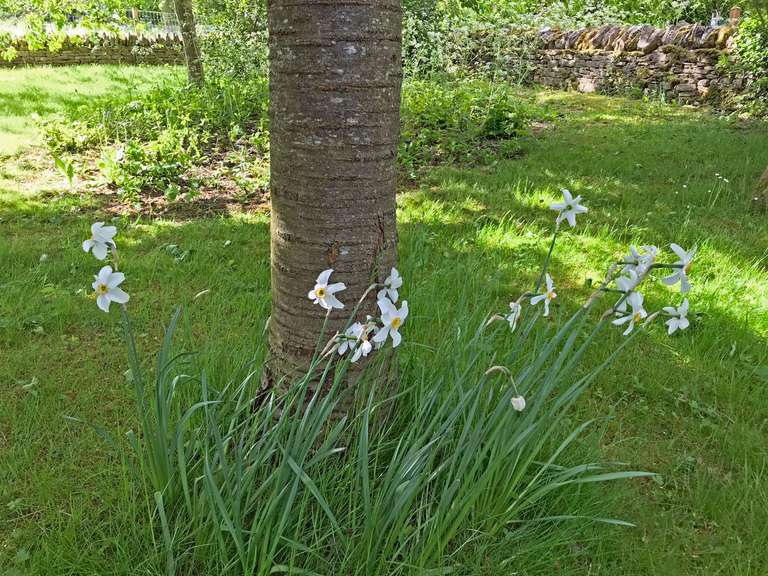 Mid-May and narcissus still in bloom in the Copse