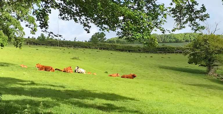 The limousins are out at Pudlicote Farm