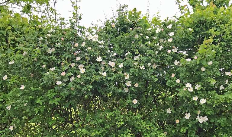 Wild roses in full bloom in hedgerow between Pudlicote and the river
