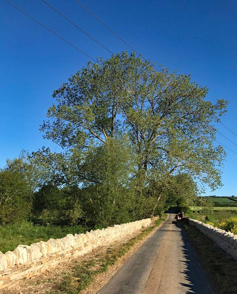 Black poplar in leaf at last, and repaired drystone wall