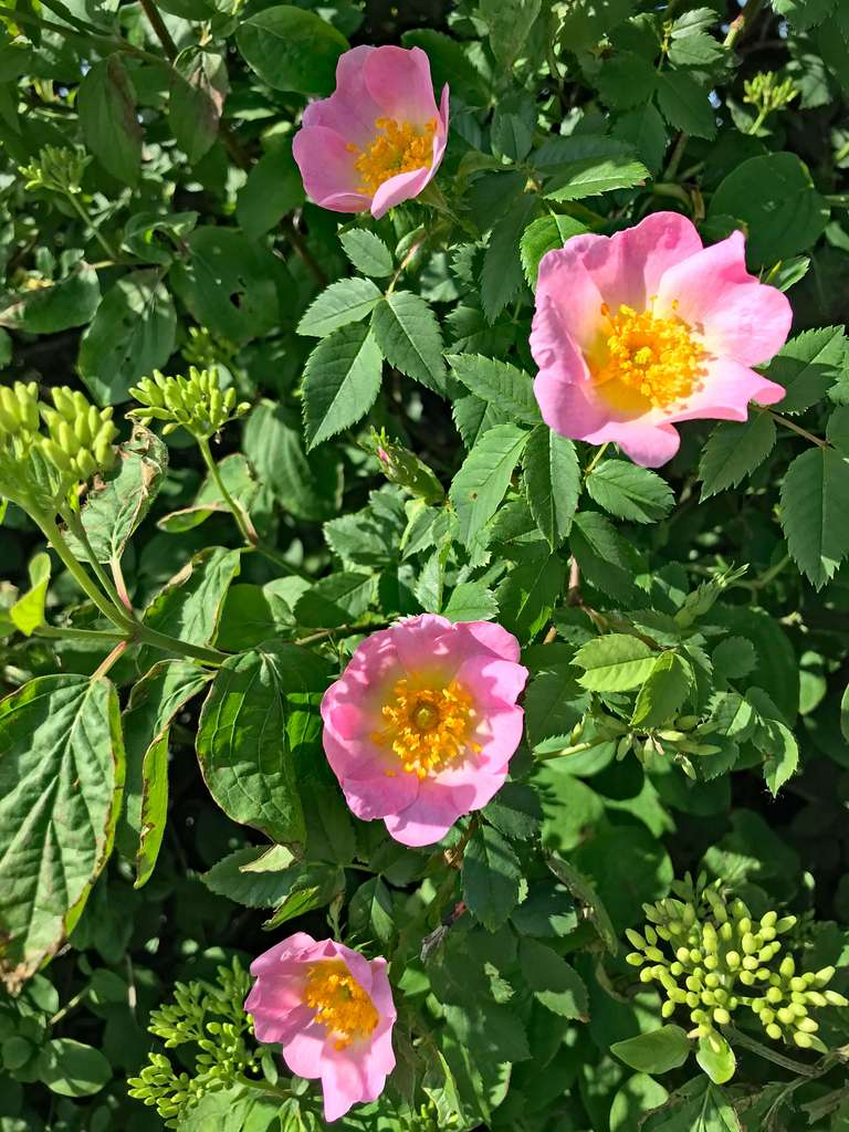 Wild dog rose in the hedgerow