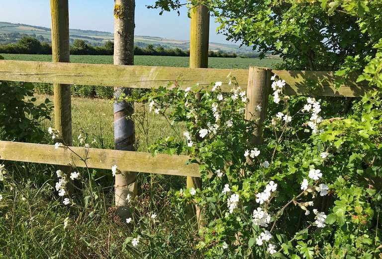 White campion continues to bloom