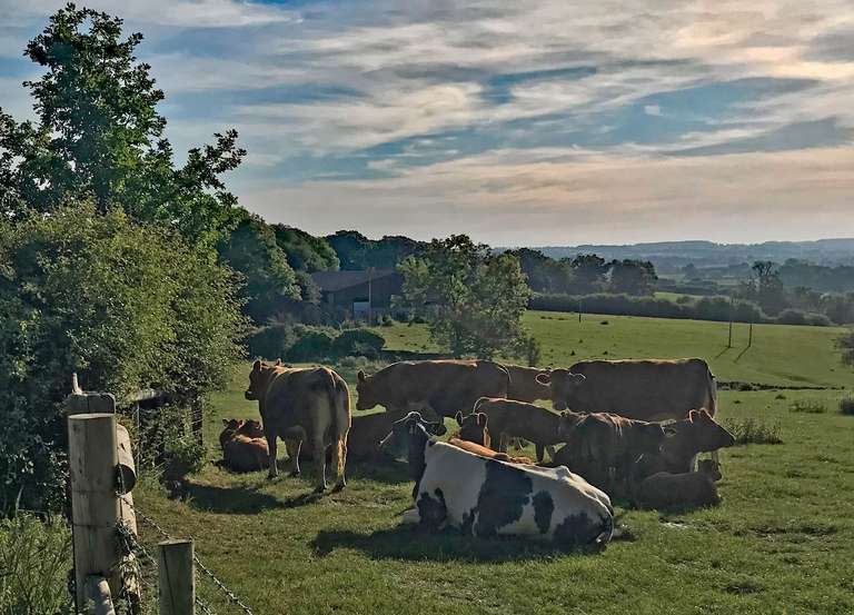 Limousin cattle at Pudlicote Farm