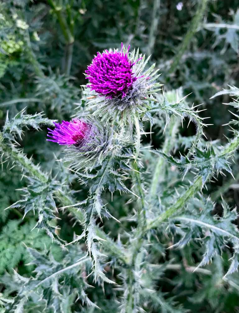 A spear thistle welcomes me to 'Scotland'